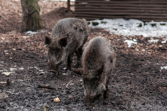 Wildschweine Rehberge(C)Kate Seabrock