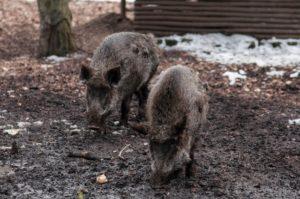 Die Wildschweine gibt es noch