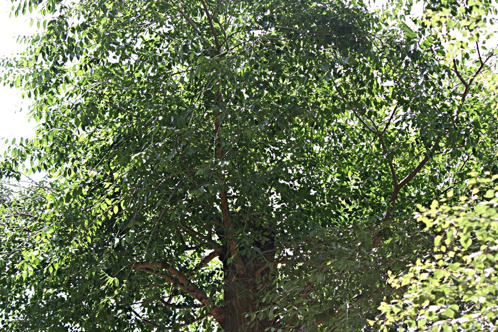 So wie bei diesem Baum wird es aussehen. Der Stamm wird abgeschnitten, der Baum kann wieder austreiben.