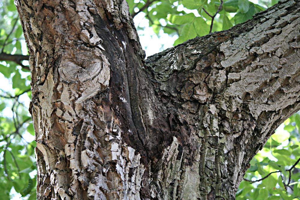 Der Baum ist krank und muss deshalb gekappt werden.