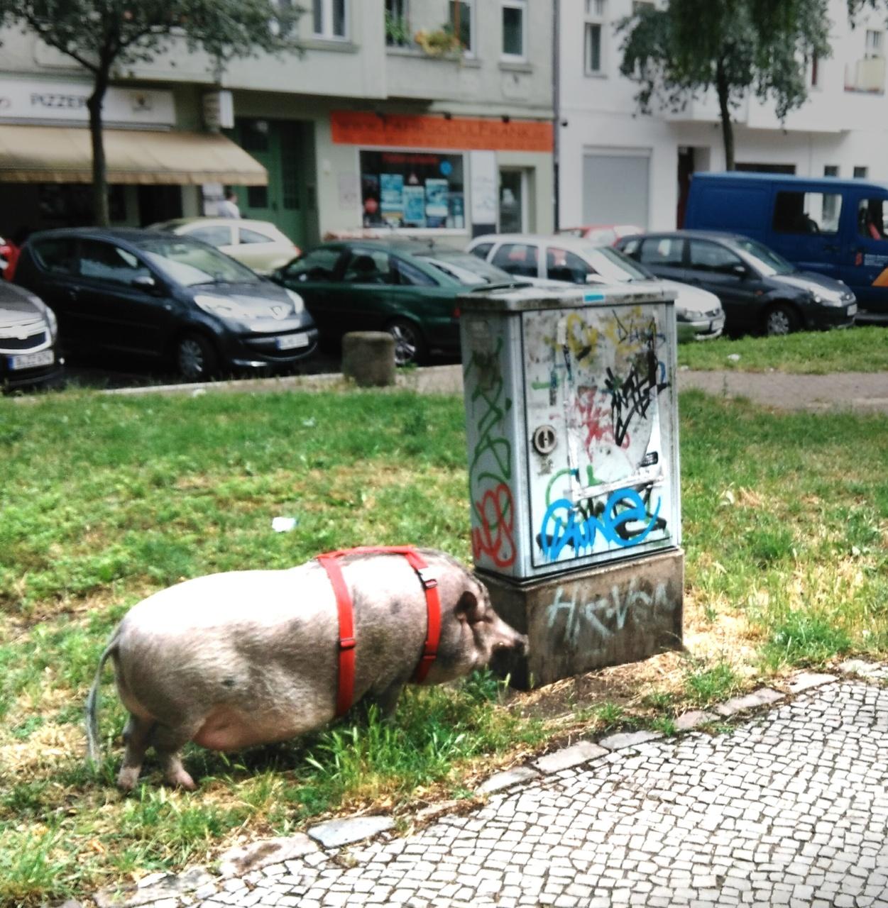 Hausschwein Jerry