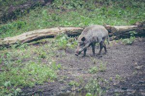 Wildschweine im Wildtiergehege Rehberge