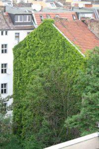 Efeu-Hauswand im Soldiner Kiez. Foto Andrei Schnell.