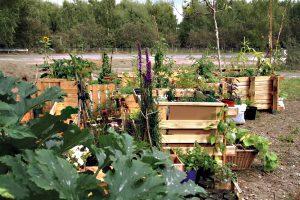 So wie früher soll es in den Hochbeeten im Mauergarten wieder wachsen. Foto: D. Hensel