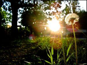 Sonne scheint durch Blätter hindurch, im Vordergrund ein Pusteblume. Foto: Sulamith Sallmann