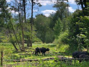 Bei den Wasserbüffeln