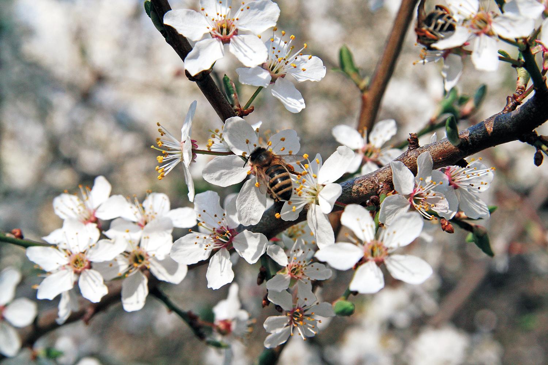 Biene an einer Blüte im Humboldthain