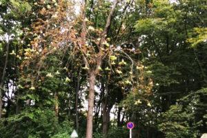 Zu sehen ist ein Kastanienbaum zischen anderen Bäumen. Er blüht weiß.